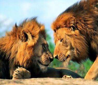 最凶猛的动物_世界最凶猛的动物 狮子 世界之最