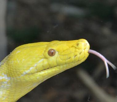 孕期梦见一条黄蛇