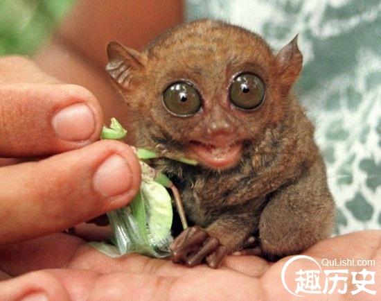 眼睛最大的猴是什么猴?眼镜猴的眼睛有多大